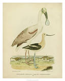 Antique Spoonbill & Sandpipers Giclee Print by Alexander Wilson