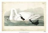 Trumpeter Swan I Giclee Print by John James Audubon