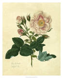Frankfort Rose Giclee Print by Mary Lawrence