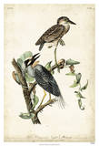 Night Heron Giclee Print by John James Audubon