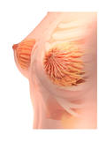 Conceptual Image of Female Breast Anatomy Posters