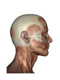 Human Anatomy of Male Facial Muscles, Profile View Posters