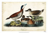 Audubon Ducks II Giclee Print by John James Audubon