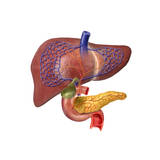 Human Digestive System Showing Pancreas, Duodenum, and Gall Bladder Poster