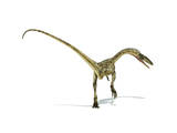 Coelophysis Dinosaur on White Background Posters