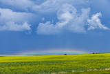 A Low Altitude Rainbow Visible over the Yellow Canola Field, Gleichen, Alberta, Canada Photographic Print