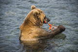 Kamchatka Brown Bear (Ursus Arctos Beringianus) Eating Salmon Photographic Print by Michael Runkel