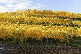 Vineyard, Weissenkirchen, Wachau, UNESCO World Heritage Site, Lower Austria, Austria, Europe Photographic Print by Karl Thomas