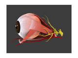 Conceptual Image of Human Eye Anatomy Prints