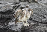 Galapagos Brown Pelican (Pelecanus Occidentalis Urinator) Photographic Print by G and M Therin-Weise