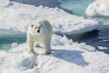 Curious Polar Bear (Ursus Maritimus) Photographic Print by Michael Nolan