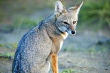Grey Fox (Lycalopex Griseus), Peninsula Valdes, Patagonia, Argentina, South America Photographic Print by Pablo Cersosimo