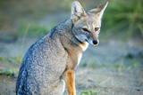 Grey Fox (Lycalopex Griseus), Peninsula Valdes, Patagonia, Argentina, South America Lámina fotográfica por Pablo Cersosimo