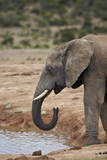 African Elephant (Loxodonta Africana) Drinking, Addo Elephant National Park, South Africa, Africa Photographic Print by James Hager