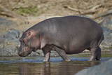 Hippopotamus (Hippopotamus Amphibius) in Shallow Water Photographic Print by James Hager