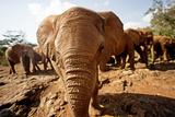 Juvenile Elephants (Loxodonta Africana) at the David Sheldrick Elephant Orphanage Photographic Print by James Morgan