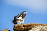 Black Chested Buzzard Eagle (Geranoaetus Melanoleucus) Adult Female Photographic Print by Pablo Cersosimo