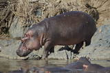 Hippopotamus (Hippopotamus Amphibius) Returning to the Water Photographic Print by James Hager