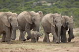 African Elephant (Loxodonta Africana) Family, Addo Elephant National Park, South Africa, Africa Photographic Print by James Hager