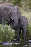 African Elephant (Loxodonta Africana) Drinking, Kruger National Park, South Africa, Africa Photographic Print by James Hager