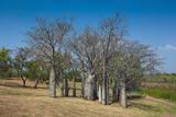 Baobab Trees in Kununurra, Kimberleys, Western Australia, Australia, Pacific Photographic Print by Michael Runkel