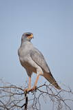 Southern Pale Chanting Goshawk (Melierax Canorus) Photographic Print by James Hager