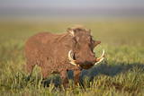 Warthog (Phacochoerus Aethiopicus), Ngorongoro Crater, Tanzania, East Africa, Africa Photographic Print by James Hager