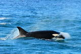 Orca (Orcinus Orca), Peninsula Valdes, Patagonia, Argentina, South America Photographic Print by Pablo Cersosimo