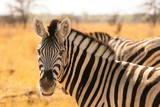 Desert Zebra, Skeleton Coast, Namibia, Africa Photographic Print by Bhaskar Krishnamurthy