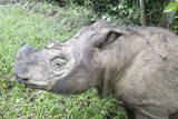 Male Sumatran Rhino (Borneo Rhino) (Dicerorhinus Sumatrensis) in Wallow Photographic Print by Louise Murray
