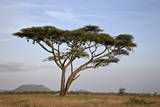 Acacia Tree, Serengeti National Park, Tanzania, East Africa, Africa Photographic Print by James Hager
