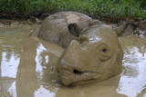 Female Sumatran Rhino (Borneo Rhino) (Dicerorhinus Sumatrensis) in Wallow Photographic Print by Louise Murray