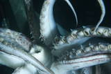 Buccal Cavity (Mouth) and Tentacles of Humboldt (Jumbo) Squid (Dosidicus Gigas) Photographic Print by Louise Murray