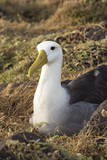 Waved Albatross (Phoebastria Irrorata), Hispanola Island, Galapagos, Ecuador, South America Photographic Print by G and M Therin-Weise