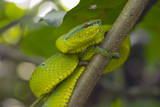 Wagler's Pit Viper Photographic Print by Louise Murray
