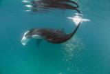 Manta Ray (Manta Birostris) Feeding Reprodukcja zdjęcia autor Louise Murray
