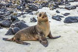 Galapagos Sea Lion Pup (Zalophus Californianus Wollebaeki) Photographic Print by G and M Therin-Weise