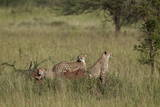 Three Cheetah (Acinonyx Jubatus), Serengeti National Park, Tanzania, East Africa, Africa Photographic Print by James Hager