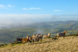 Welsh Ponies, Eppynt, Cambrian Mountains, Powys, Wales, United Kingdom, Europe Photographic Print by Graham Lawrence
