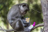Curious Long-Tailed Macaque (Macaca Fascicularis) Photographic Print by Michael Nolan