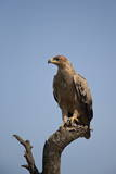 Tawny Eagle (Aquila Rapax), Serengeti National Park, Tanzania, East Africa, Africa Photographic Print by James Hager