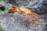 Sally Lightfoot Crab (Grapsus Grapsus), Galapagos, Ecuador, South America Photographic Print by G and M Therin-Weise