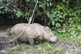 Male Sumatran Rhino (Borneo Rhino) (Dicerorhinus Sumatrensis) Photographic Print by Louise Murray