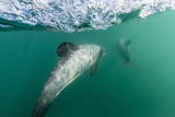 Adult Hector's Dolphins (Cephalorhynchus Hectori) Underwater Near Akaroa Photographic Print by Michael Nolan