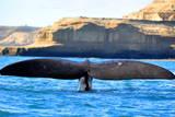 Southern Right Whale (Eubalaena Australis), Peninsula Valdes, Patagonia, Argentina, South America Photographic Print by Pablo Cersosimo