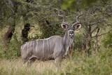 Greater Kudu (Tragelaphus Strepsiceros) Buck, Imfolozi Game Reserve, South Africa, Africa Fotodruck von James Hager