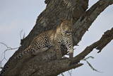 Leopard (Panthera Pardus), Serengeti National Park, Tanzania, East Africa, Africa Photographic Print by James Hager
