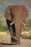 African Elephant (Loxodonta Africana), Kruger National Park, South Africa, Africa Fotografisk tryk af James Hager