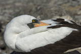 Nazca Booby (Sula Granti) Photographic Print by G and M Therin-Weise