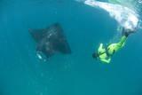 Scientist Free Diving to Make a Photo Identification of an Individual Manta Ray (Manta Birostris) Reprodukcja zdjęcia autor Louise Murray